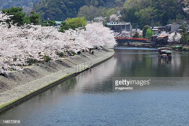 boat traveling through uji river with cherry blossom tree on riverbank - 宇治市 ストックフォトと画像
