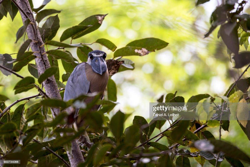 Boat-billed Heron Bird : Foto de stock