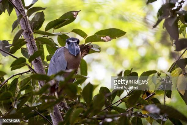 boat-billed heron bird - guanacaste fotografías e imágenes de stock