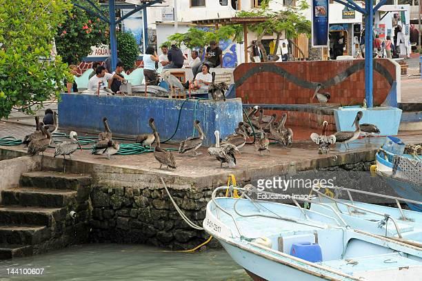 Boats Ecuador Puerto Ayora Fish Market Pelicans