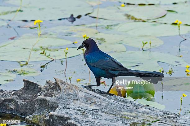 boat-tailed grackle - lily carter stock pictures, royalty-free photos & images