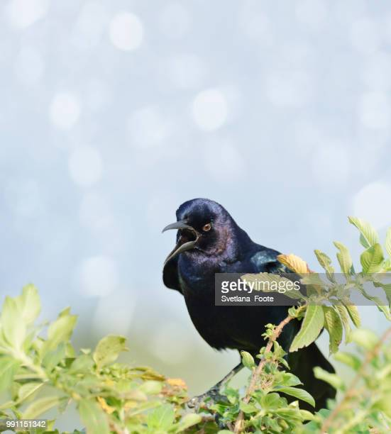 boat-tailed grackle - svetlana stock photos and pictures