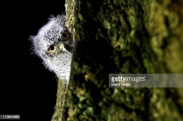 Bob a baby Eastern Screech Owl pokes his head out of the mango tree on Walter and Emily Michot's backyard deck Bob was raised inside a hole in the...