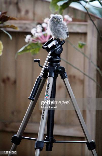 Bob a baby Eastern Screech Owl sits perched on a tripod in photographers Emily and Walter Michot's backyard Bob was raised by his parents in their...