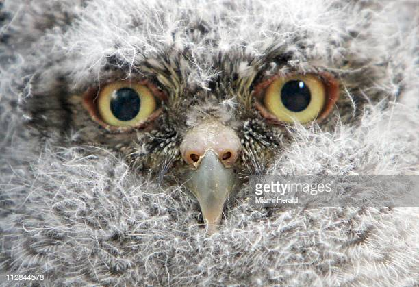 Bob a baby Eastern Screech Owl was raised by his parents in Emily and Walter Michot's Miami Shores Florida backyard mango tree They have been...