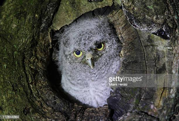 Bob a baby Eastern Screech Owl was raised in Walter and Emily Michot's Miami Shores Florida backyard mango tree by his parents who swooped in to feed...