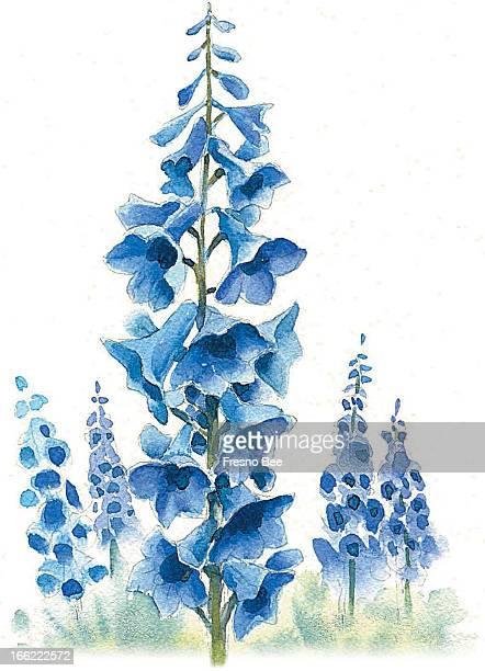 Bob Campbell color illustration of delphinium blossoms