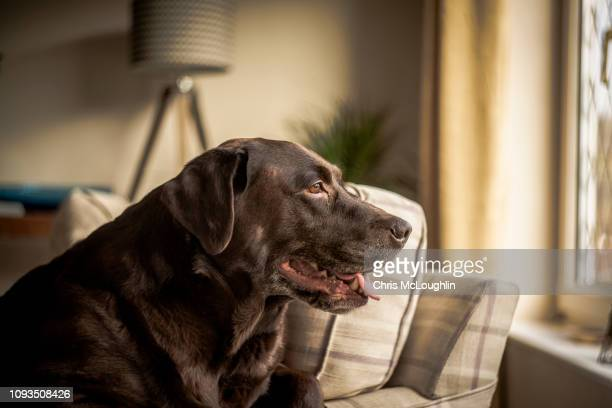 bob the chocolate labrador - domestic animals stock pictures, royalty-free photos & images