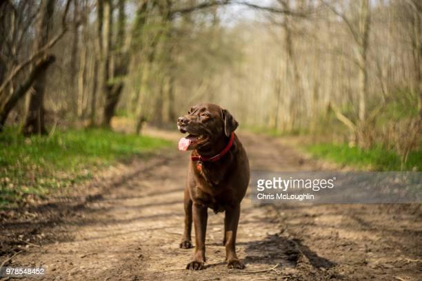bob the chocolate labrador - chocolate labrador stock pictures, royalty-free photos & images
