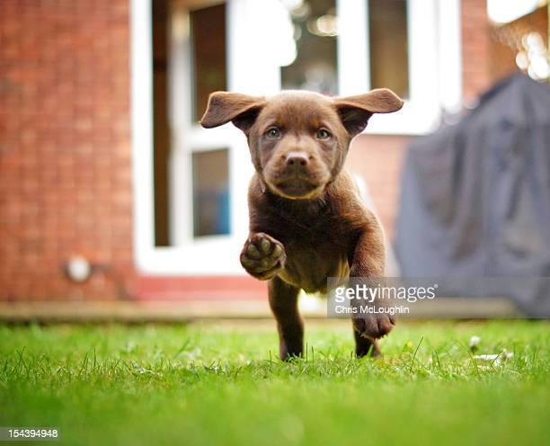 Bob the chocolate Labrador puppy