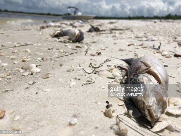 Bob Wasno a marine biologist with the Florida Gulf Coast University docks his boat on a beach in Bonita Springs Florida on August 14 where hundreds...