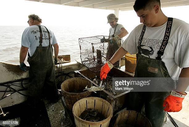 Bobby Abner along with Donnie Eastridge and Kevin Doane aboard the commercial crabbing boat Foxy Roxy pull up crab pots on the Chesapeake Bay August...
