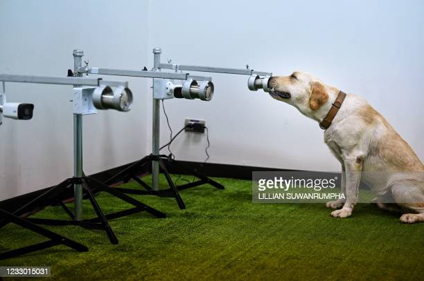 Bobby the K9 retriever dog sniffs sweat samples, in order to detect the Covid-19 coronavirus through volatile organic compounds, at the Faculty of...
