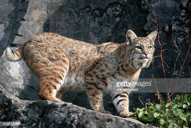 bobcat by rock wall - bobcat stock pictures, royalty-free photos & images