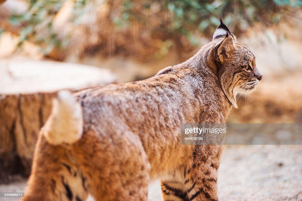 Bobcat Closeup : Stock Photo
