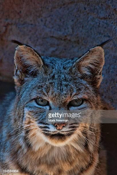 Bobcat (Felix rufus) closeup portrait