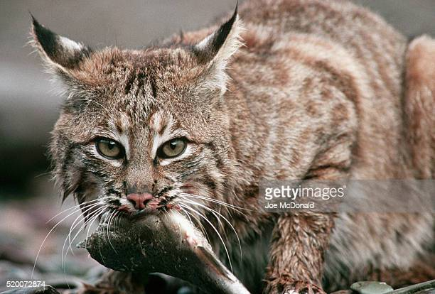 Bobcat Eating a Trout