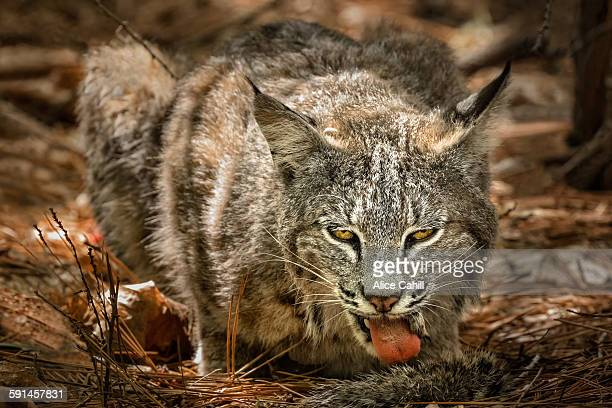 Bobcat facing forward with tongue out