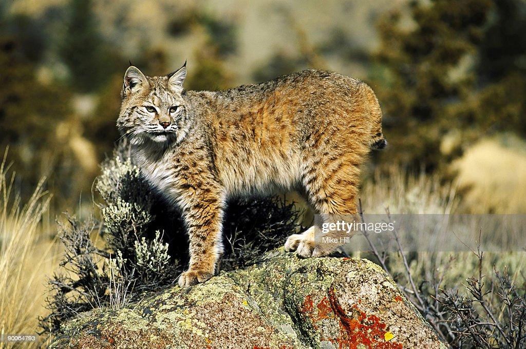 bobcat felis rufus montana usa : Stock Photo