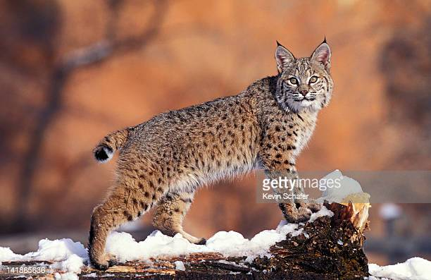 bobcat, felis rufus, uinta national forest, utah, usa - felino salvaje fotografías e imágenes de stock