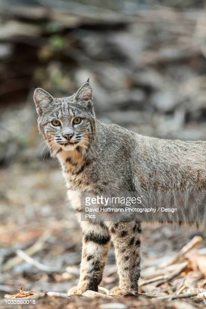 bobcat (lynx rufus) hunting in yosemite national park - bobcat stock pictures, royalty-free photos & images