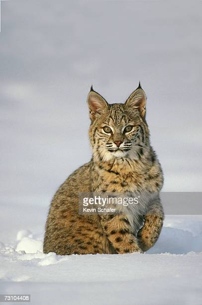Bobcat (Felis rufus) in snow