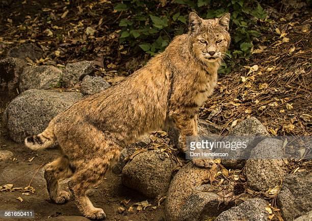 Bobcat in Tense Stance