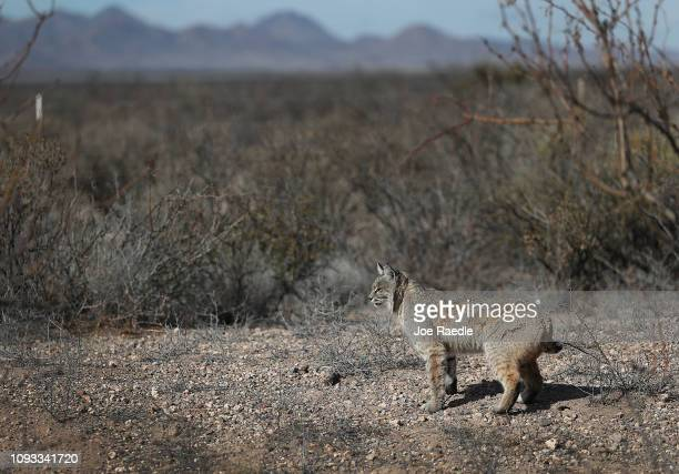 A bobcat is seen walking near the border between the United States and Mexico as the United States government continues its shutdown over a fight to...