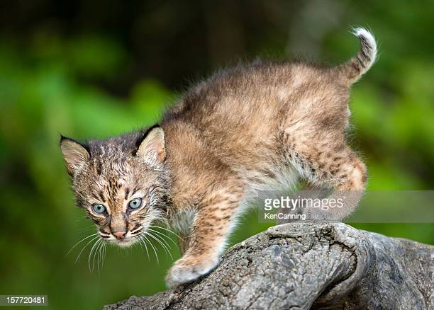 bobcat kitten - lynx stock photos and pictures
