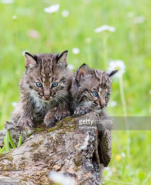 bobcat kittens - bobcat stock pictures, royalty-free photos & images
