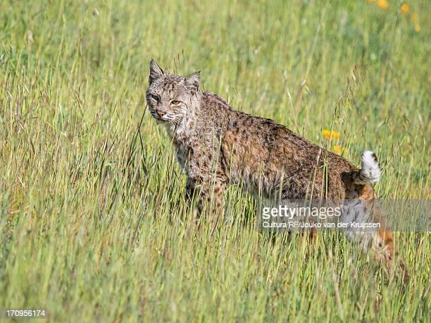bobcat, lynx rufus californicus, felis rufus - bobcat stock pictures, royalty-free photos & images
