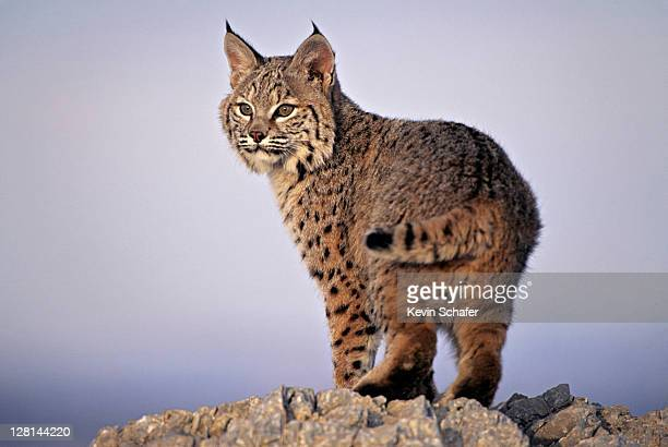 Bobcat, Lynx rufus, Uinta National Forest, Utah, USA