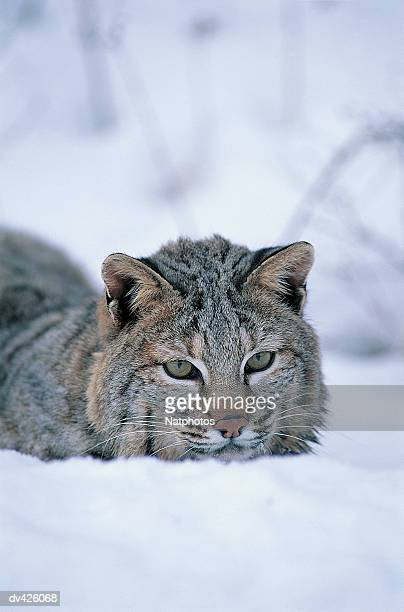 Bobcat (Lynx rufus), Montana game farm, USA