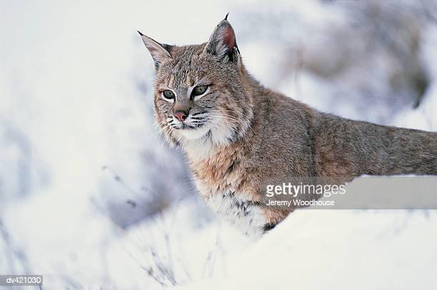 Bobcat, Montana, USA