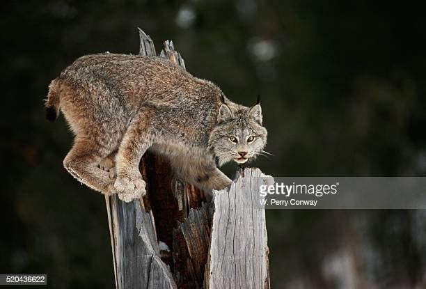 Bobcat on Hollow Tree Stump