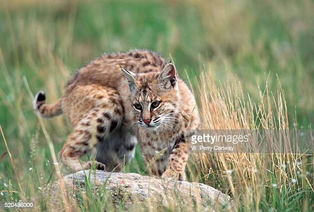 Bobcat on Rock in Grassland