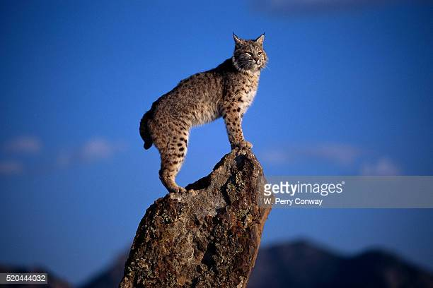 Bobcat Perched atop Rock