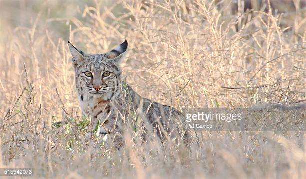 bobcat - bobcat stock pictures, royalty-free photos & images