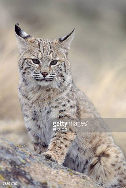 bobcat - carnivora stock photos and pictures