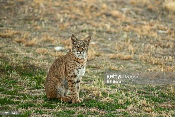 bobcat - lynx stock photos and pictures