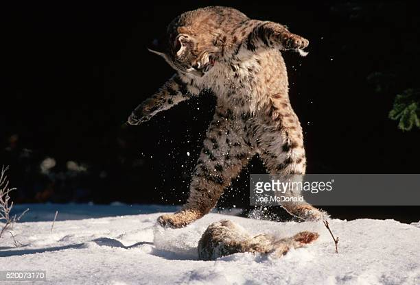 Bobcat Playing with Dead Jackrabbit