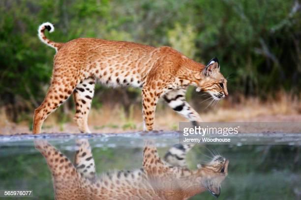 Bobcat reflecting in still pond