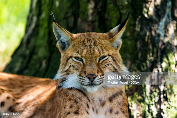 bobcat relaxing under tree - bobcat stock pictures, royalty-free photos & images