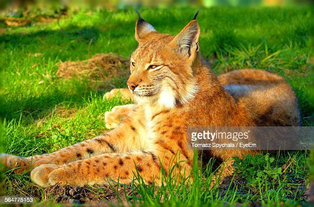 Bobcat Resting On Grassy Field