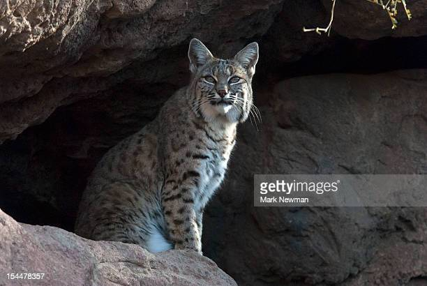 Bobcat (Felix rufus) sitting on rock cliff