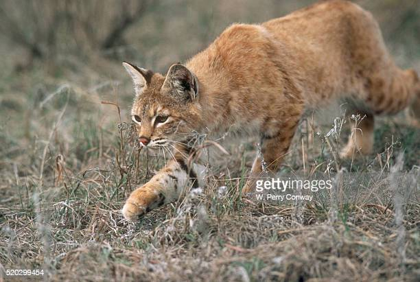 Bobcat Stalking Prey