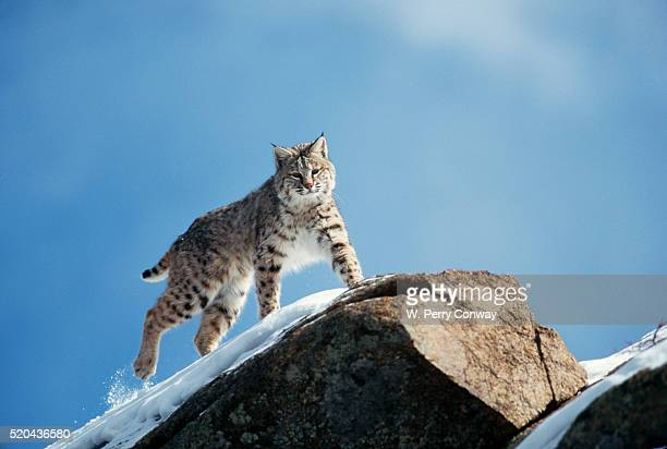 Bobcat Standing on Granite Cliff