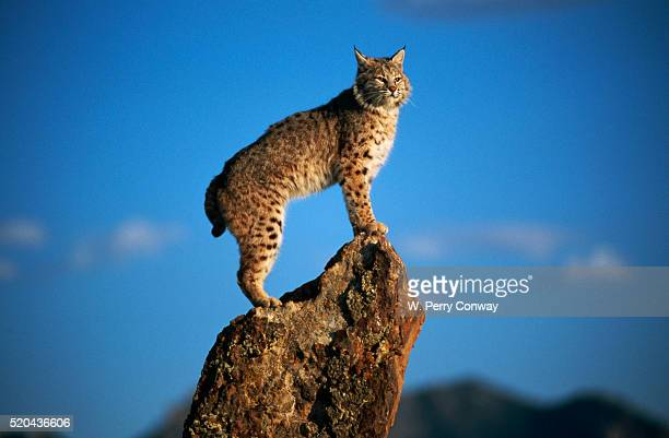 Bobcat Standing on Sandstone Outcropping