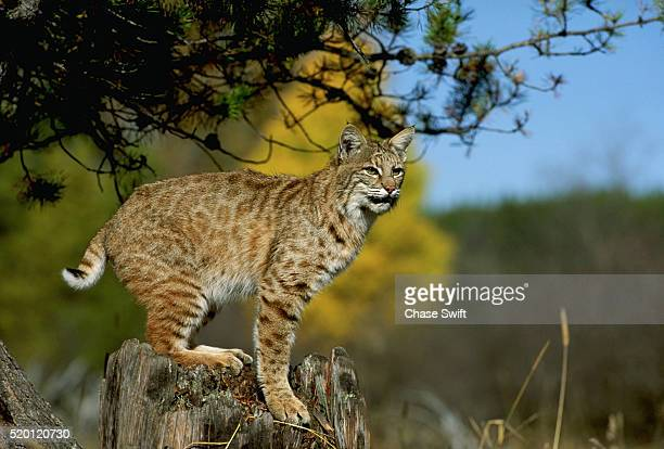 bobcats - bobcat stock pictures, royalty-free photos & images
