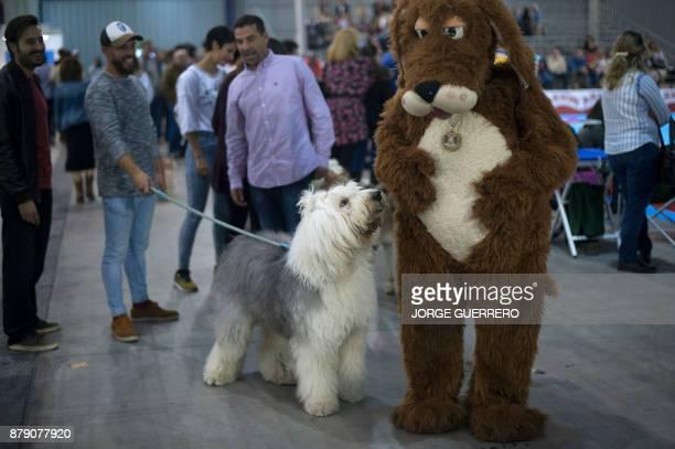 A bobtail smells the mascot during the sixth edition of the Mi Mascota fair in Malaga on November 25 2017 / AFP PHOTO / JORGE GUERRERO